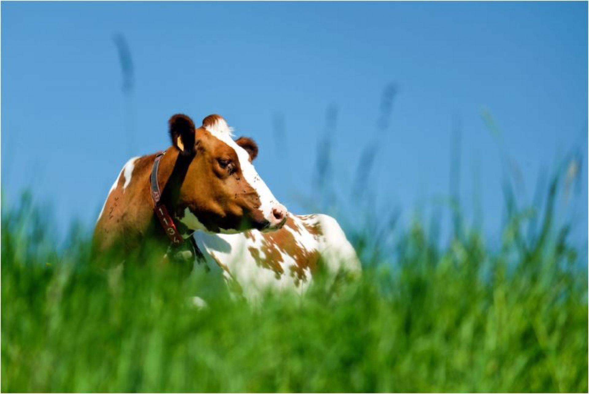 'Klimaatakkoord zonder krimp melkveestapel'