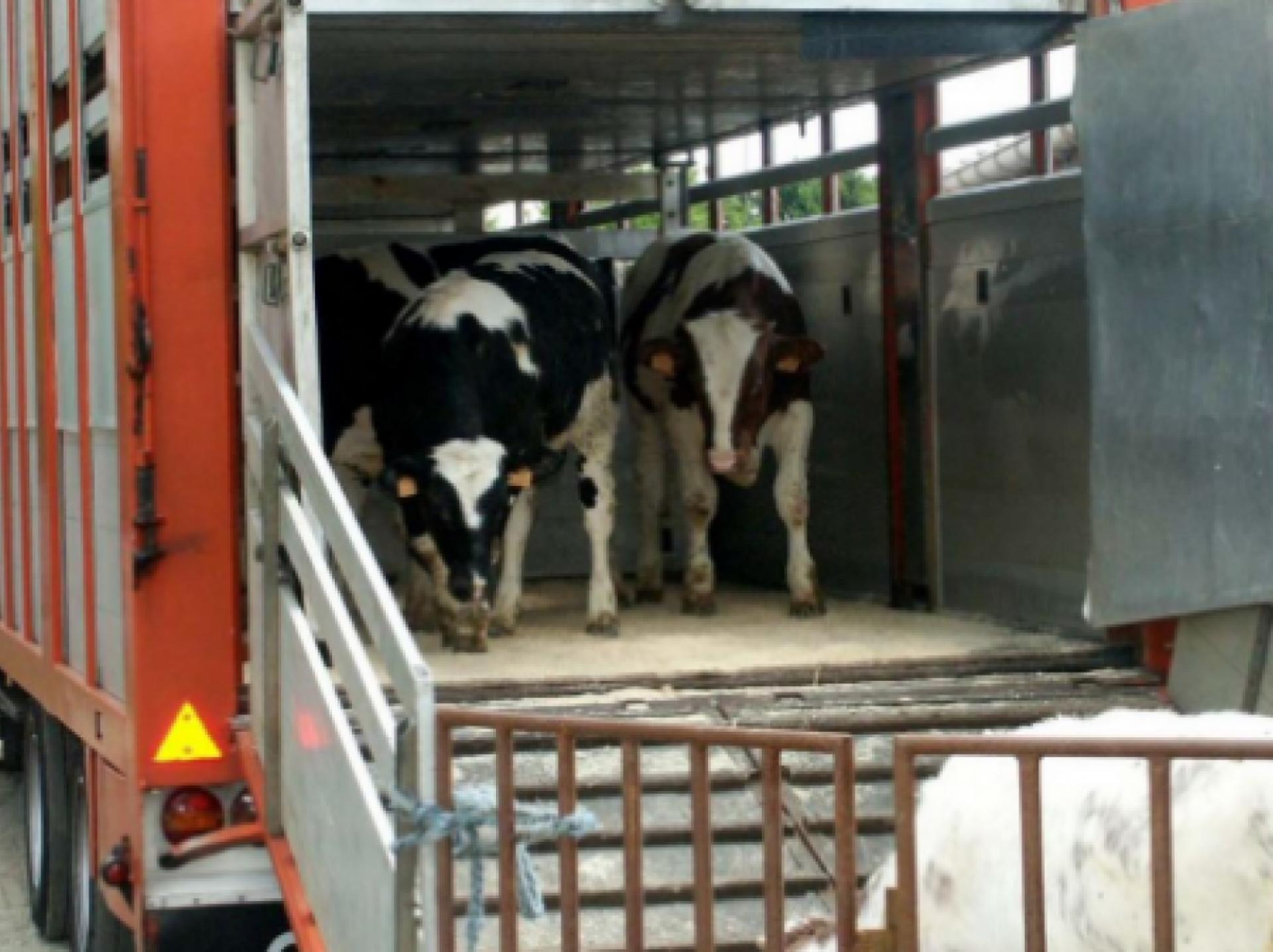 Boven 35 graden geen vervoer van vee, NVWA controleert