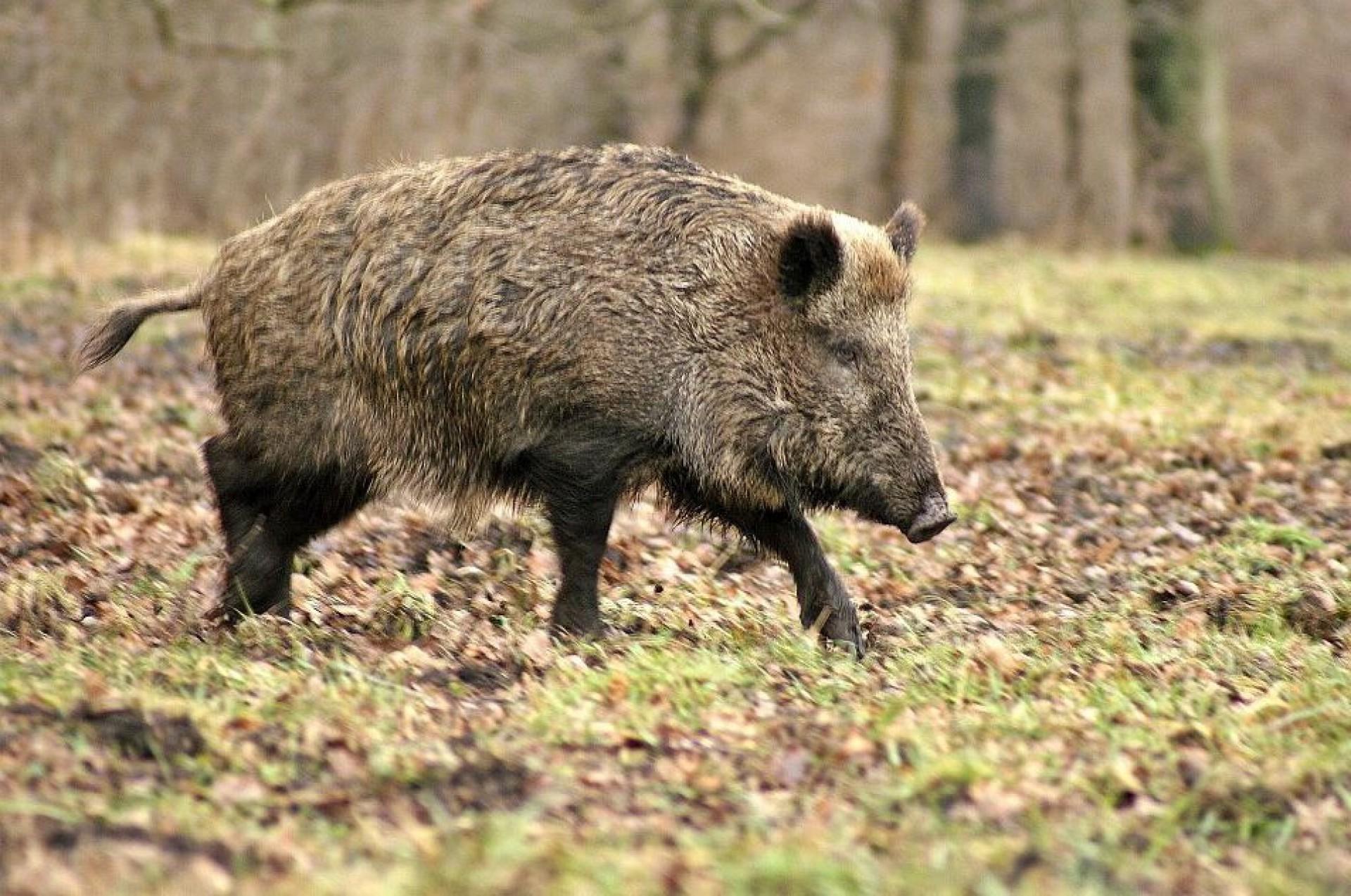 Afrikaanse varkenspest vastgesteld in België